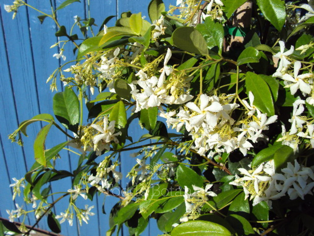 trees and shrubs trachelospermum jasminoides white. Black Bedroom Furniture Sets. Home Design Ideas