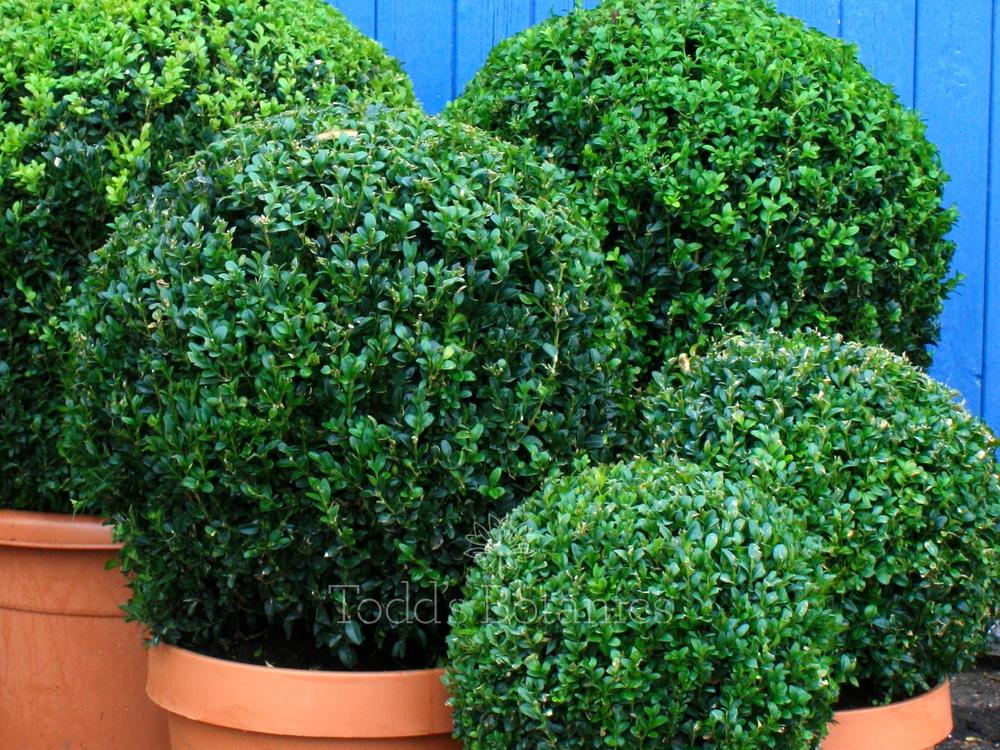 50cm topiary balls