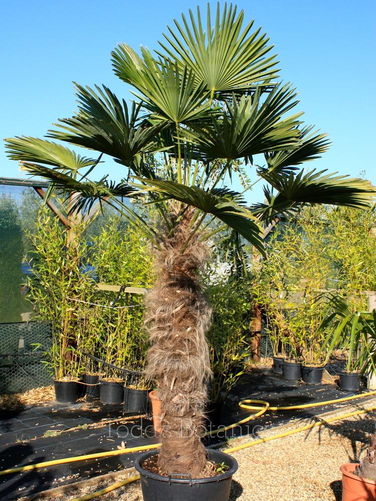 Hardy Palms Gt Trachy Wagnerianus Waggy Todd S Botanics
