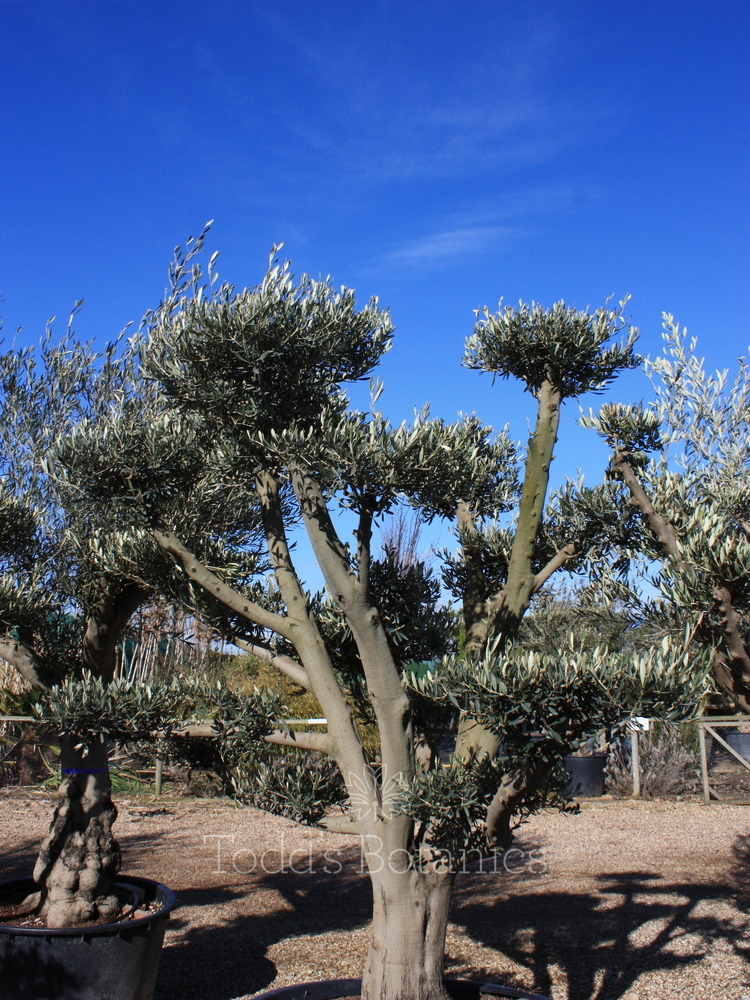 Ancient olive trees olive tree 260cm for Olive plant care