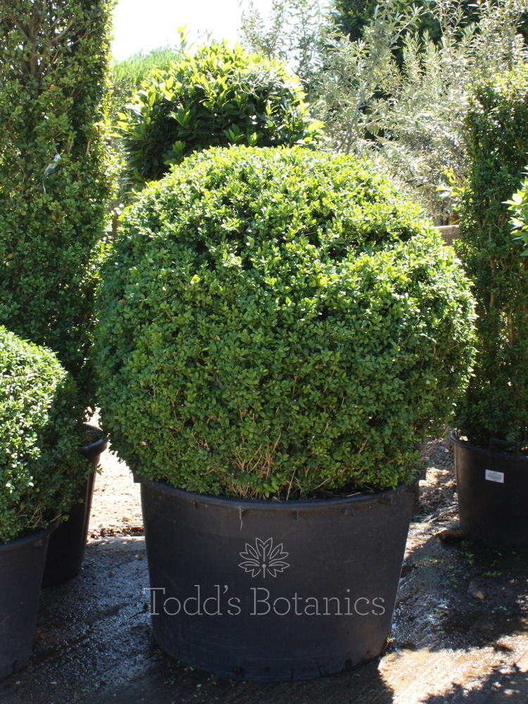 Buxus sempervirens. 110cm Box ball