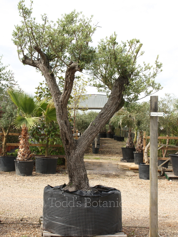 Multi Branched Olive Tree 350 cm - (ref 1195)