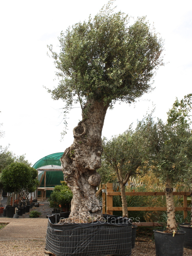Enormous, Ancient Olive Tree