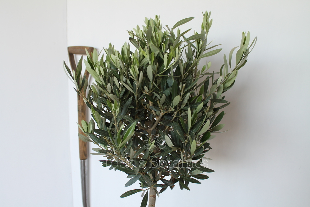 Olive trees for sale in the uk buy a bushy olive tree online for Olive trees for sale