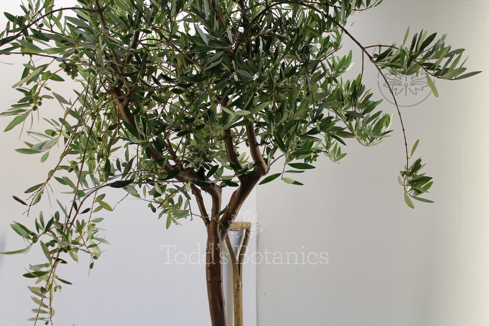 Spanish olive tree great branch structure todds botanics for Olive trees for sale