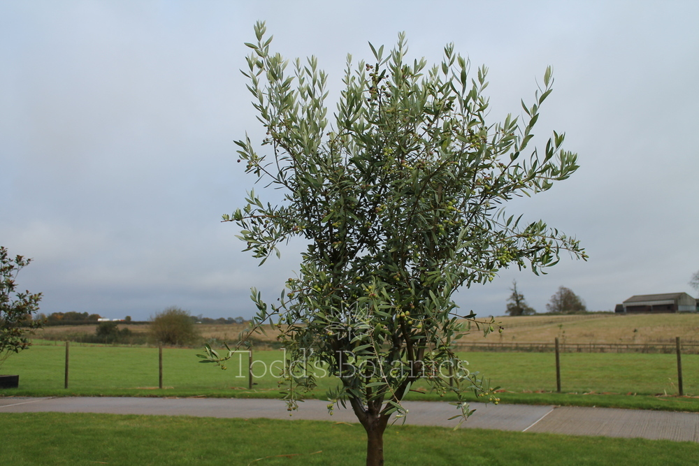 Extra large olive trees for sale in the uk buy online now for Olive trees for sale