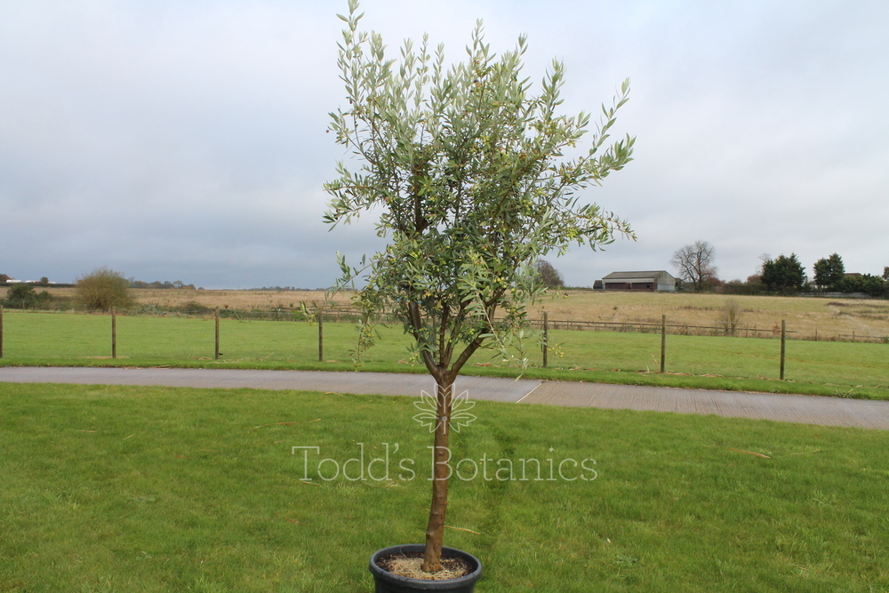 Kalamata olive trees for sale f 2016 for Olive trees for sale