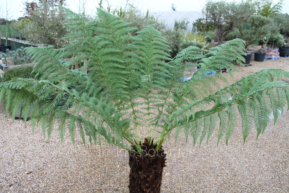 3 foot tree ferns for sale dicksonia antarctica. Black Bedroom Furniture Sets. Home Design Ideas