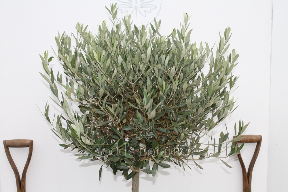 Large olive tree for sale from an rhs award winning nursery for Olive trees for sale