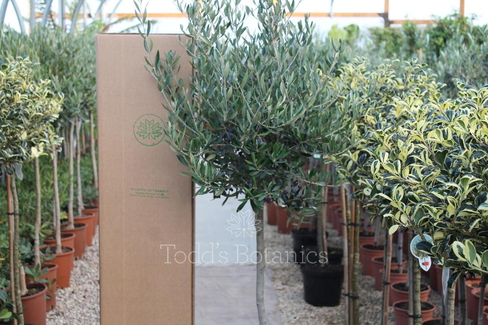 Large olive tree for sale todd 39 s botanics for Olive trees for sale
