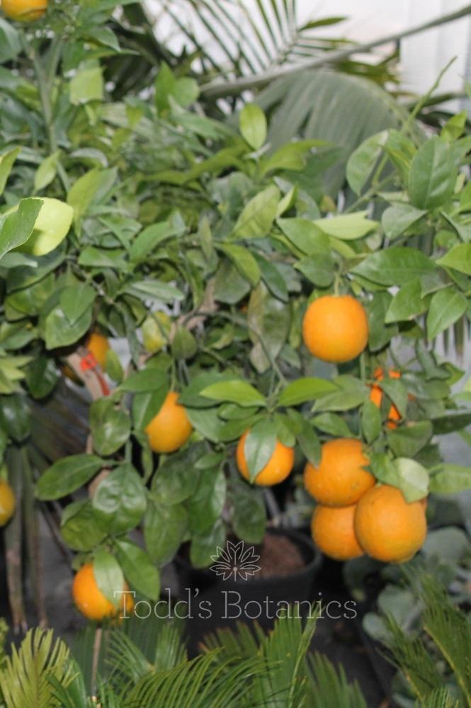 Half Standard Orange Tree