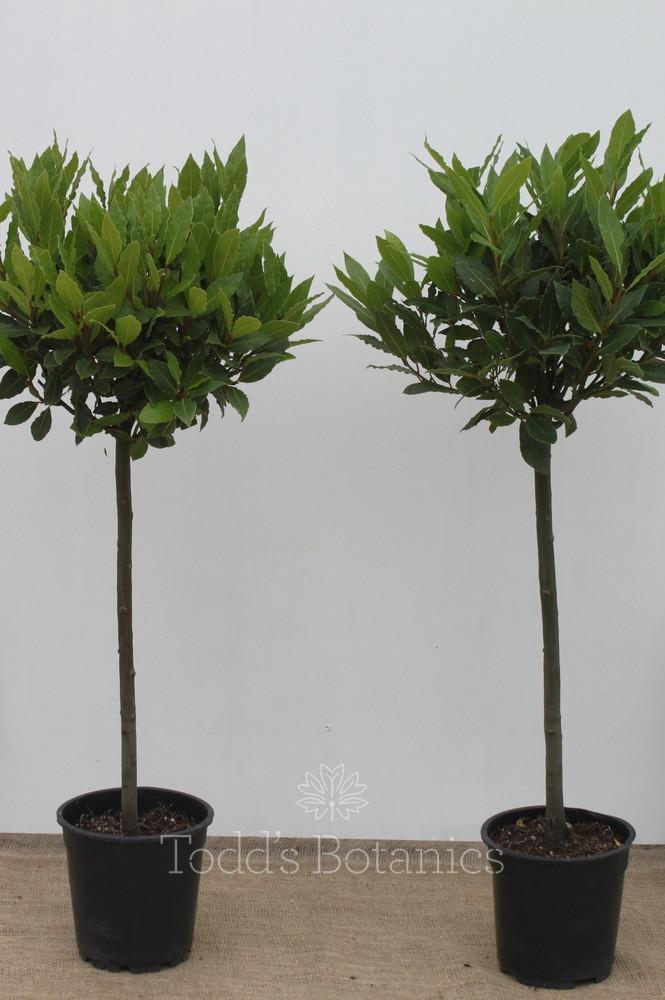 Pair of 1/2 Standard Bay Trees