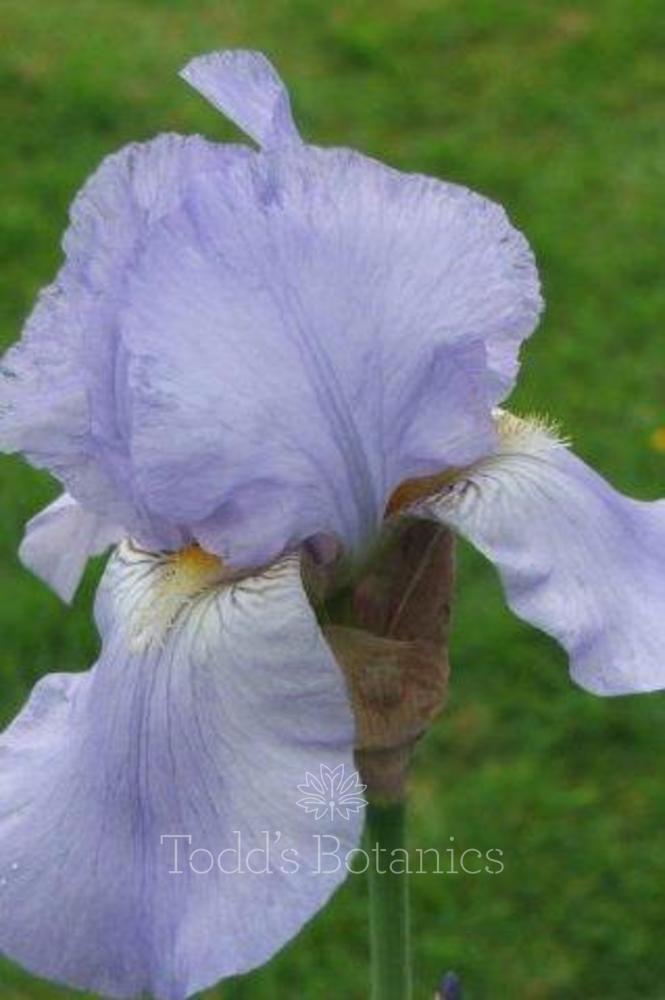Iris 'Harriette Halloway'