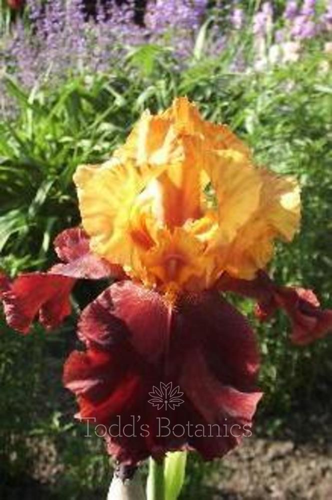 Iris 'Supreme Sultan'