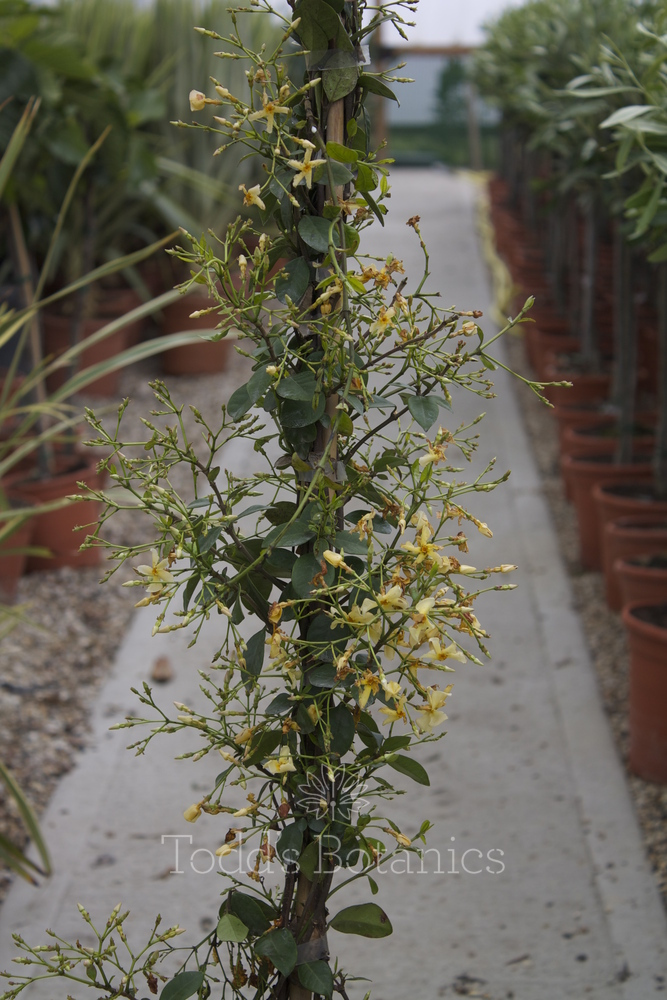 Trees And Shrubs Gt Trachelospermum Jasminoides Yellow