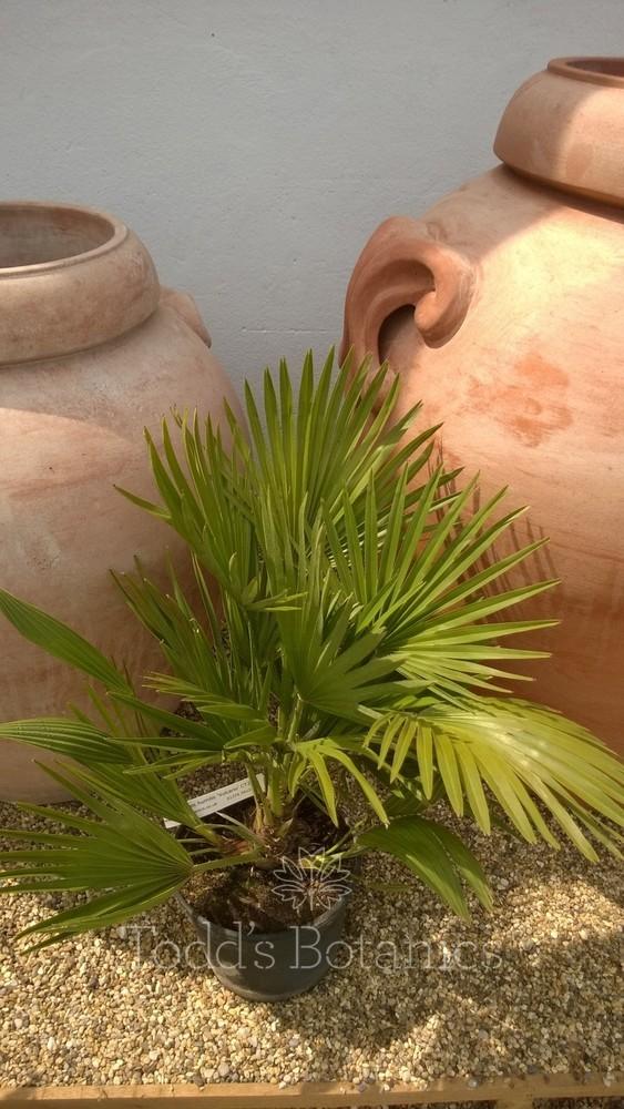 Chamaerops humilis  'Vulcano'