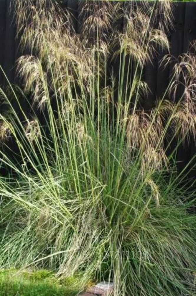Stipa gigantea - Spanish Oat Grass  AGM