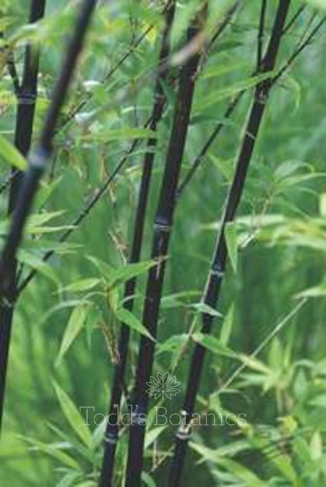 large black bamboo for sale. Black Bedroom Furniture Sets. Home Design Ideas