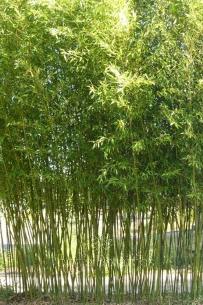 phyllostachys bissetii for sale. Black Bedroom Furniture Sets. Home Design Ideas