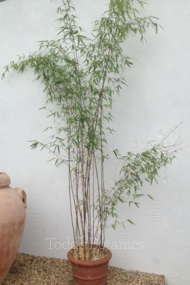 Fargesia jiuzhaigou  1.5m+ high