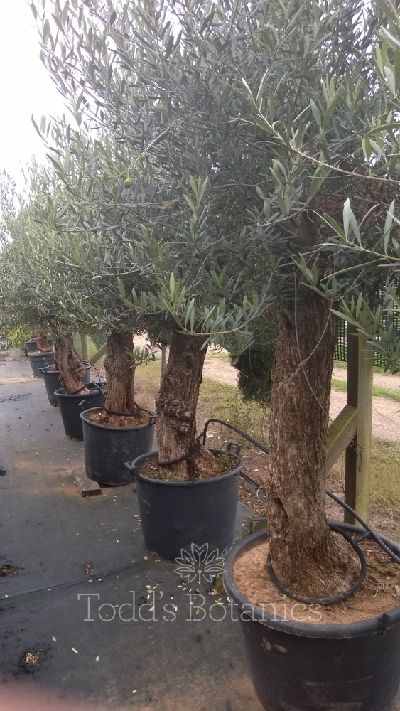 Ancient Olive Trees Gt Large Olive Tree 35 Years Old