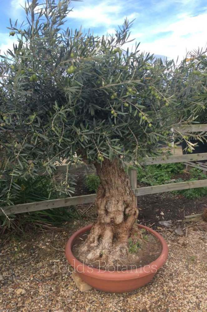 Ancient Olive Tree - 80+ years old