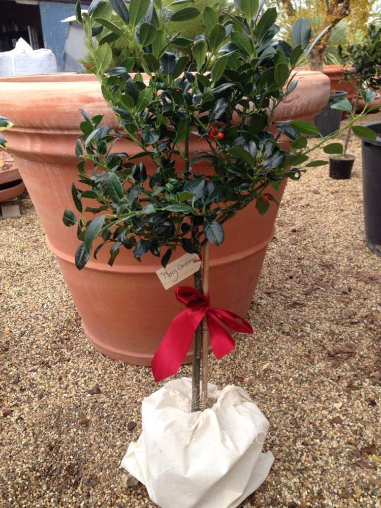 Gift Wrapped Holly - Ilex 'J C van Tol'