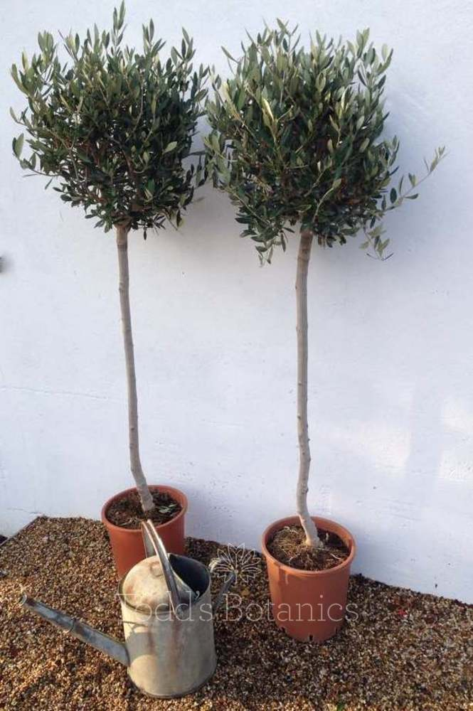 2 x Large Olive Trees 3/4 Standard