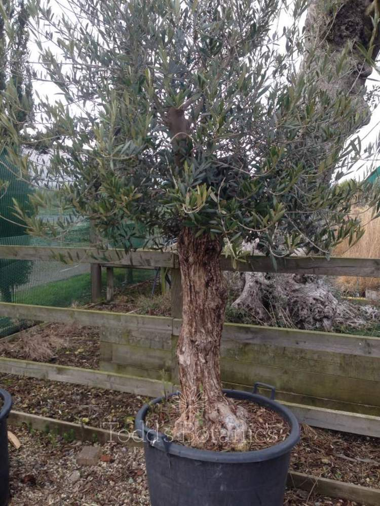 Ancient olive trees ancient olive tree for Olive trees in pots winter care