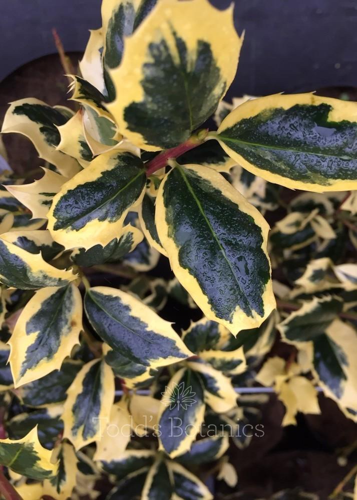 Ilex aquifolium 'Golden van Tol' 3/4 standard