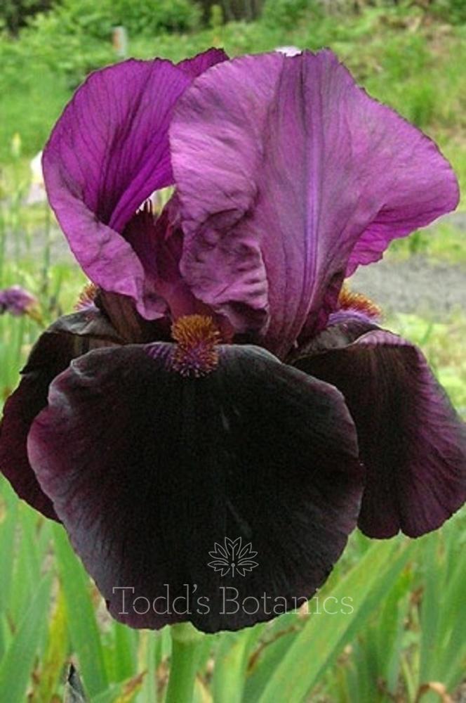 Iris 'Sable' x5 RHS offer