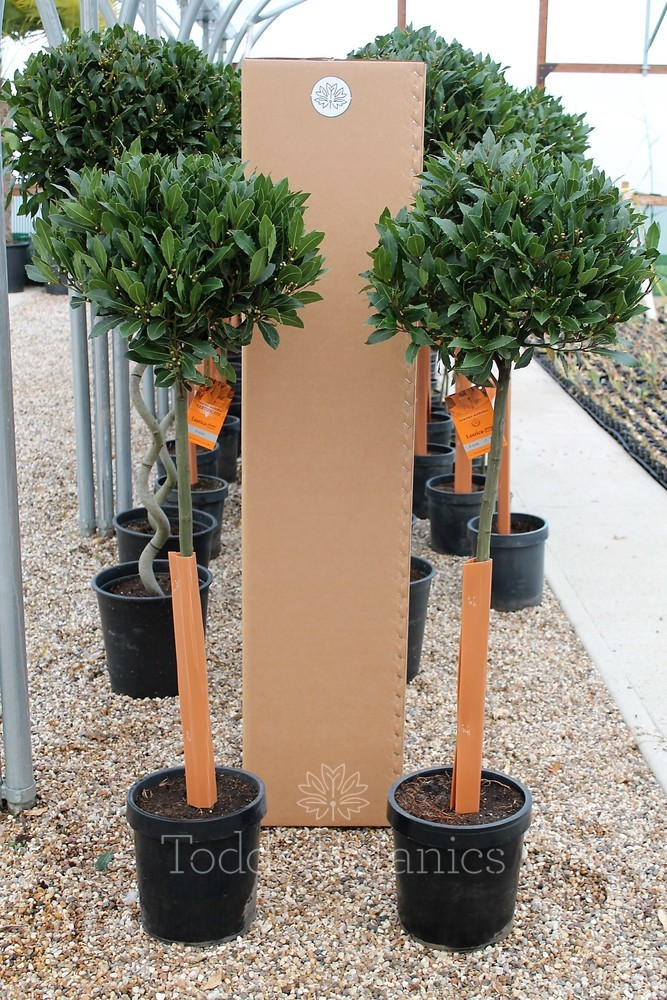 Pair of 3/4 Standard Bay Trees