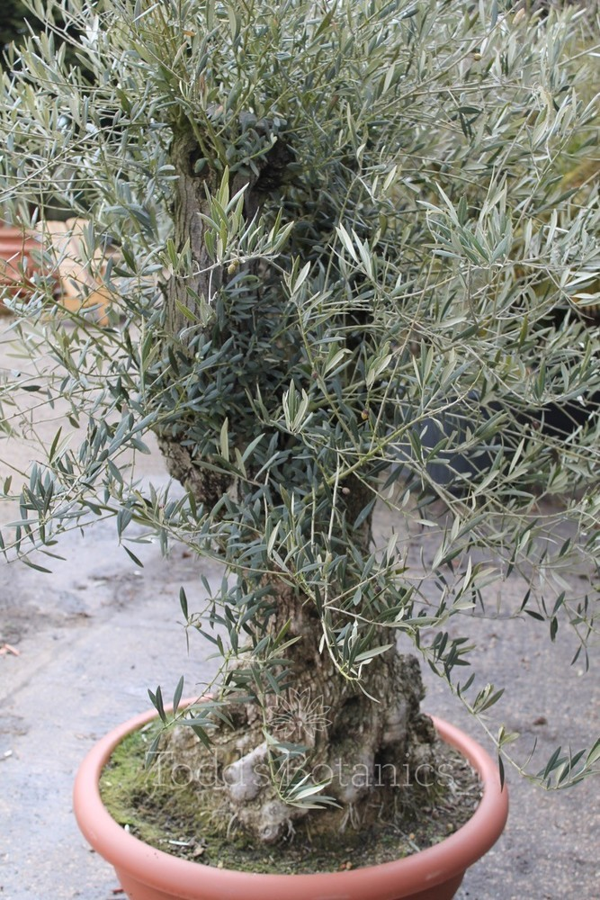 Ancient olive tree ancient olive trees for Pruning olive trees in pots