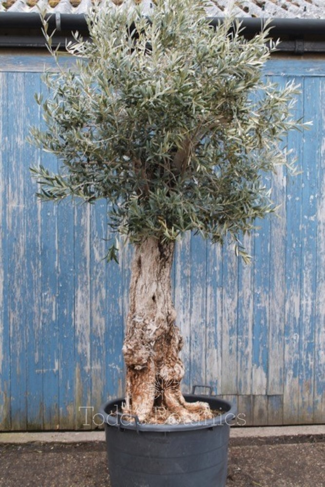 Ancient Olive Tree 1702695B