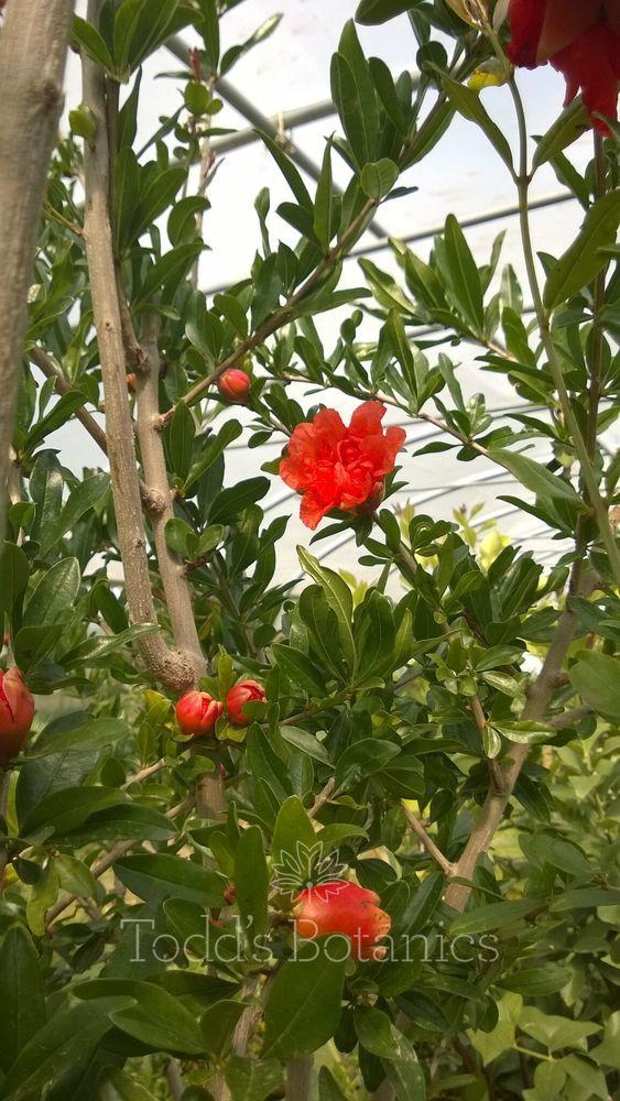 Pomegranate Tree A