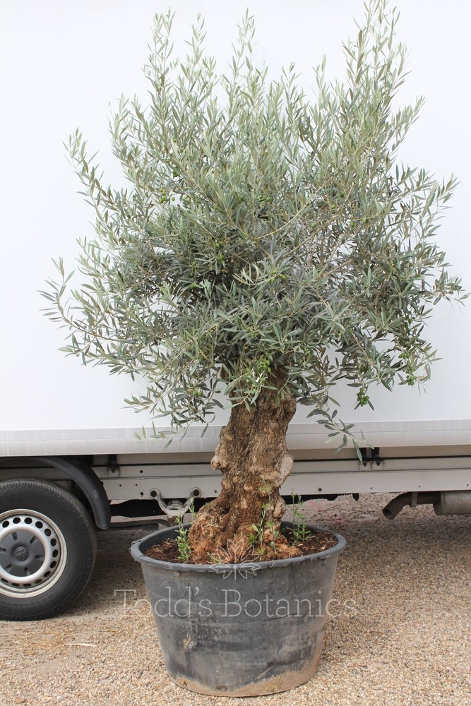 Gnarled Old Olive Tree  1707595A