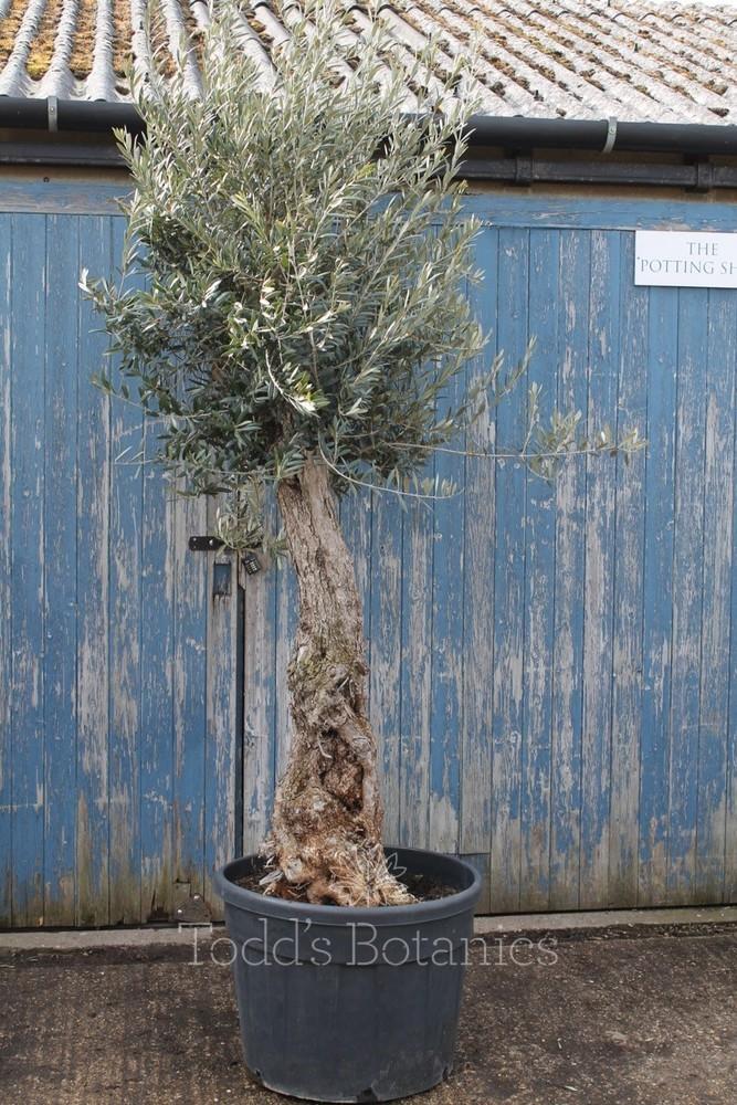 Ancient Olive Tree 1702595B