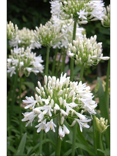 Agapanthus 'Silver Baby'.