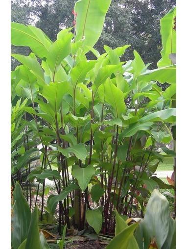 Canna 'Musifolia'.