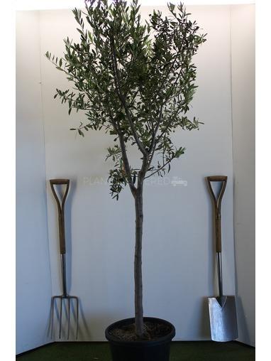 Spanish Style Olive Tree