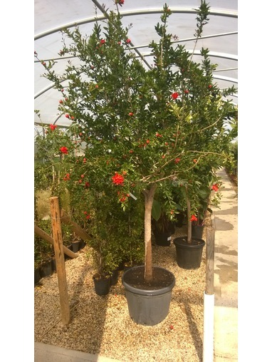 Punica granatum - Pomegranate Tree