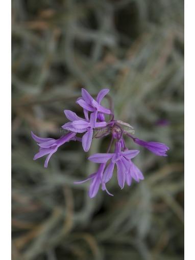 Tulbaghia violacea 'Variagata'.