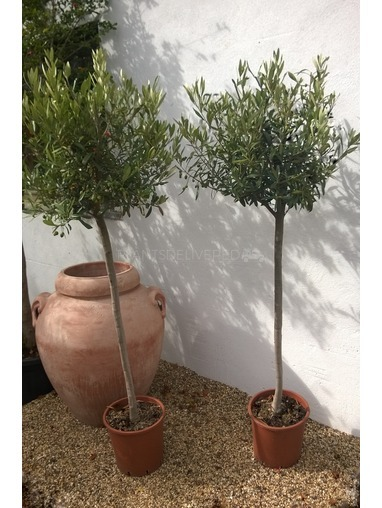 Pair of 3/4 Standard Olive Trees
