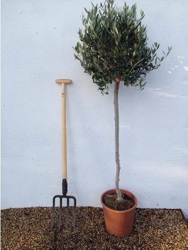 Three Quarter Standard Olive Tree.