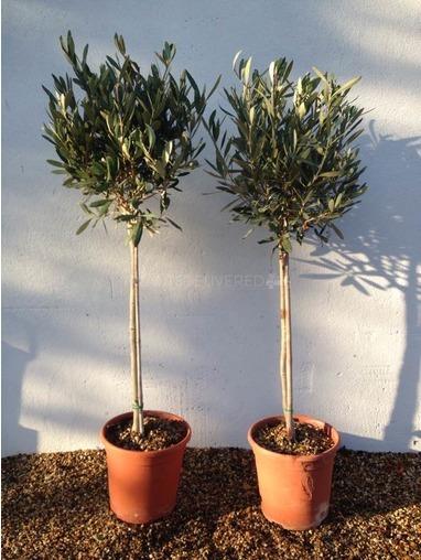 Pair of Half Standard Olive Trees