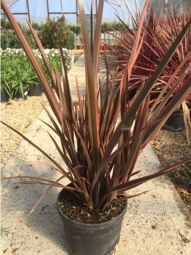 Pittosporum Tenuifolium 'Tom Thumb'.