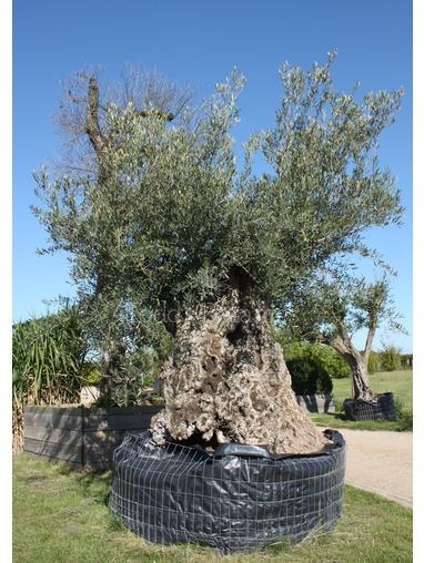 Ancient Olive Tree 330cm