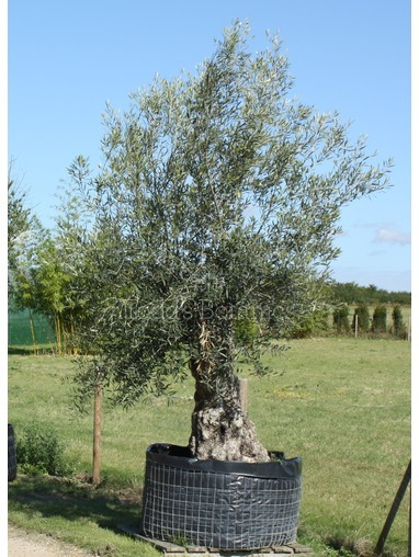 Stocky Gnarled Olive Tree (ref1300)