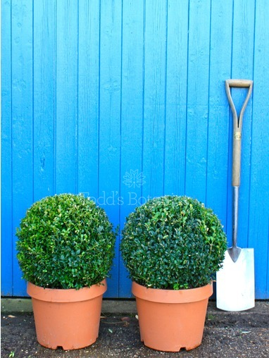 Buxus sempervirens (Box ball) 40cm