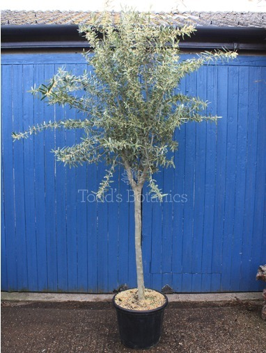 Olive Tree 260cm Great Branch structure
